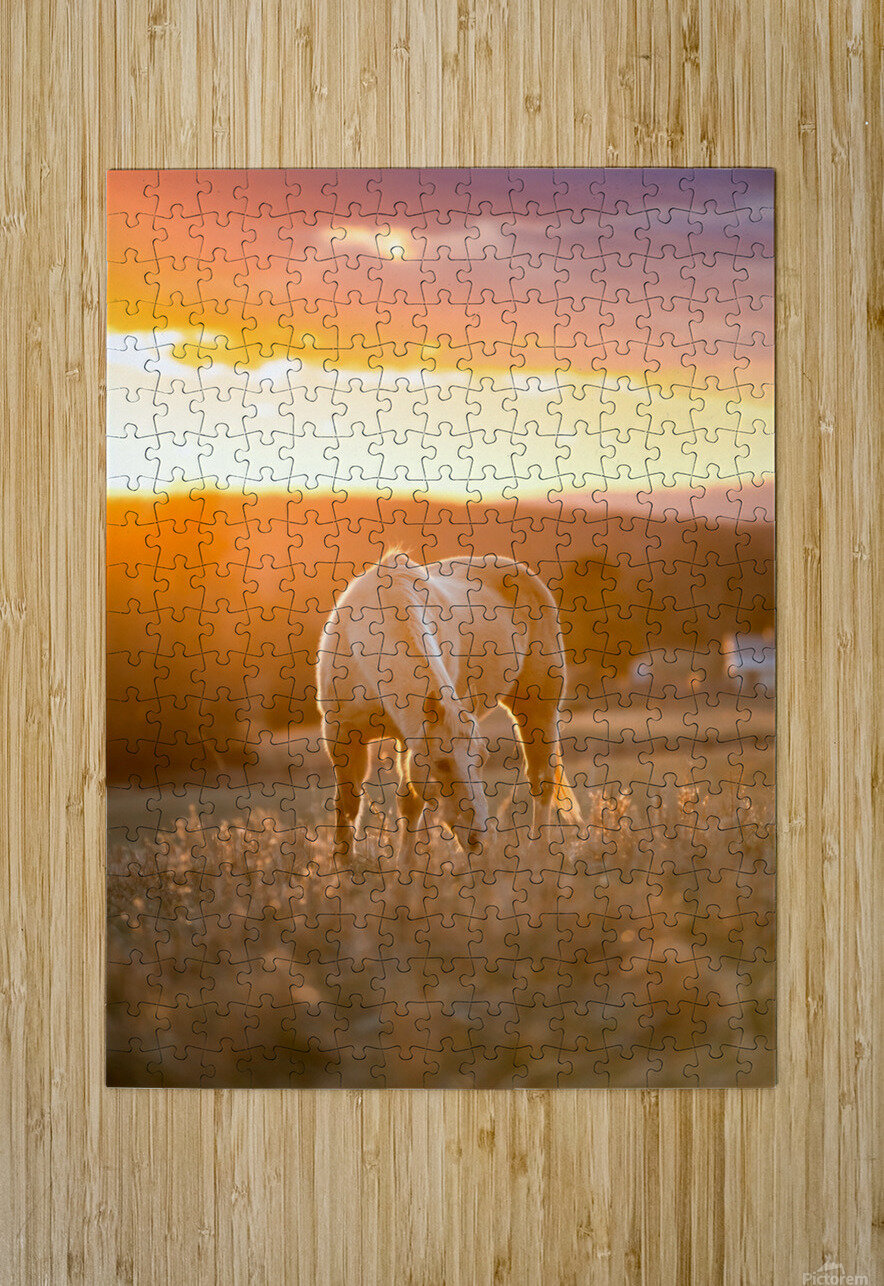 White Horse at Sunset  HD Metal print with Floating Frame on Back