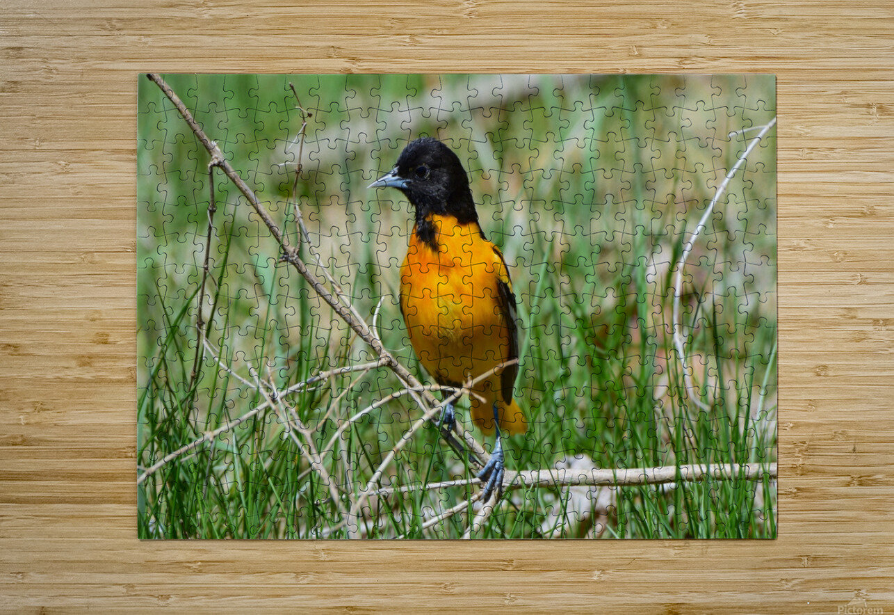 Baltimore Oriole  HD Metal print with Floating Frame on Back