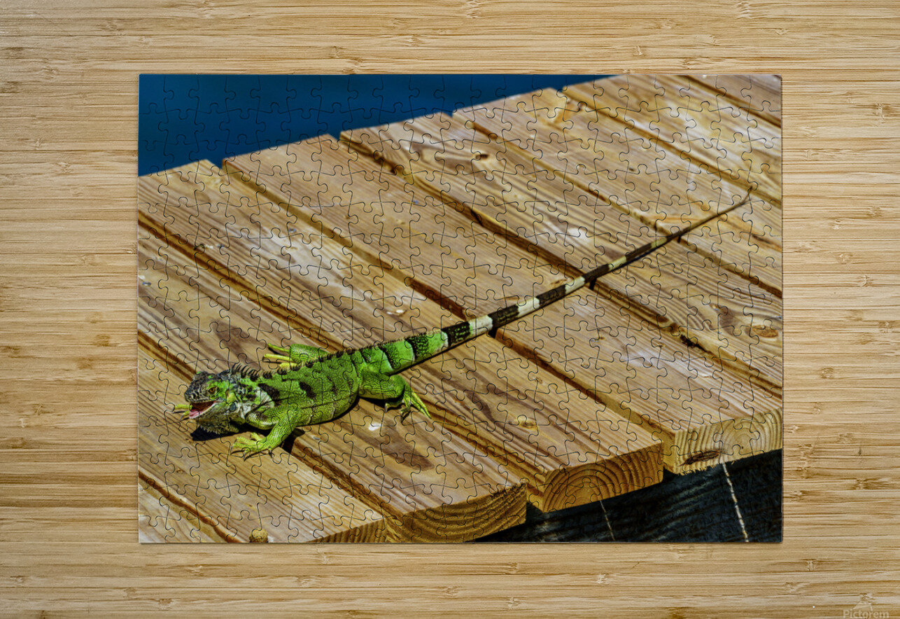 Cayman Green Iguana Eating  HD Metal print with Floating Frame on Back