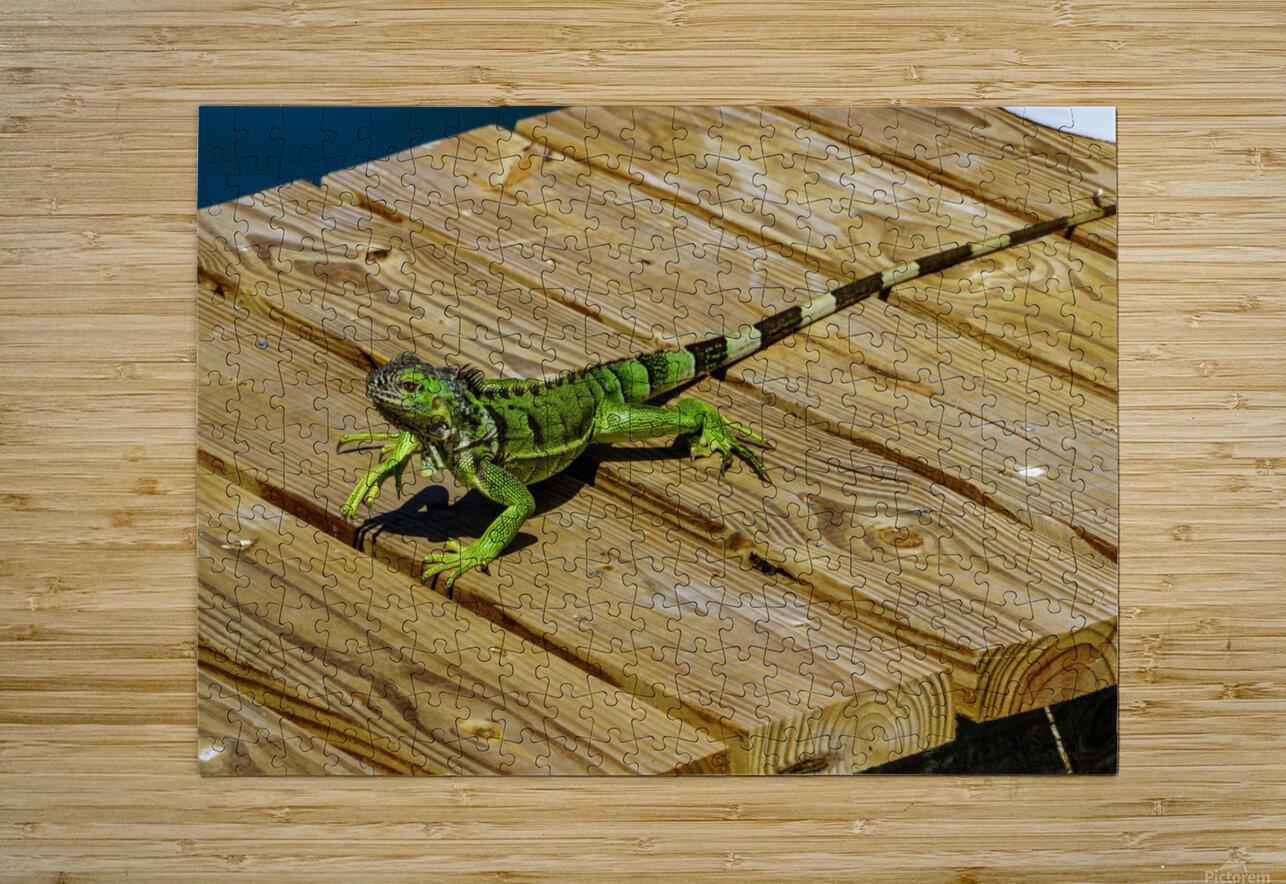 Cayman Green Iguana On Alert  HD Metal print with Floating Frame on Back
