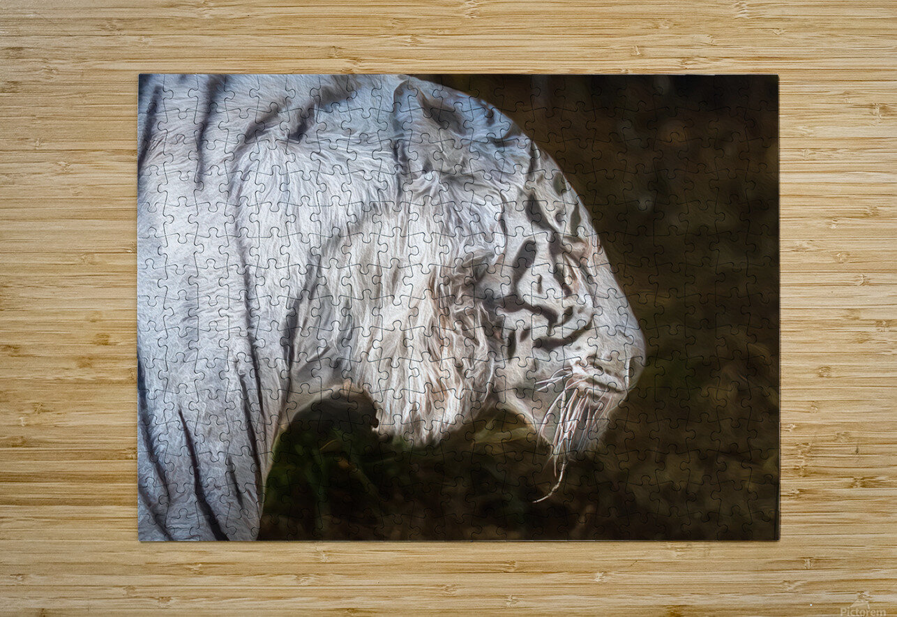 White Bengal Tiger 2  HD Metal print with Floating Frame on Back