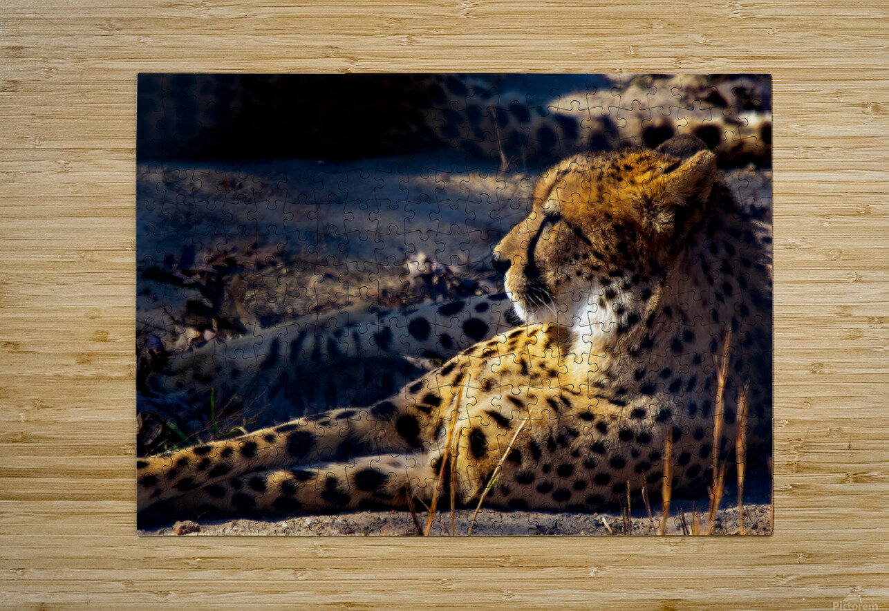 Cheetah  HD Metal print with Floating Frame on Back