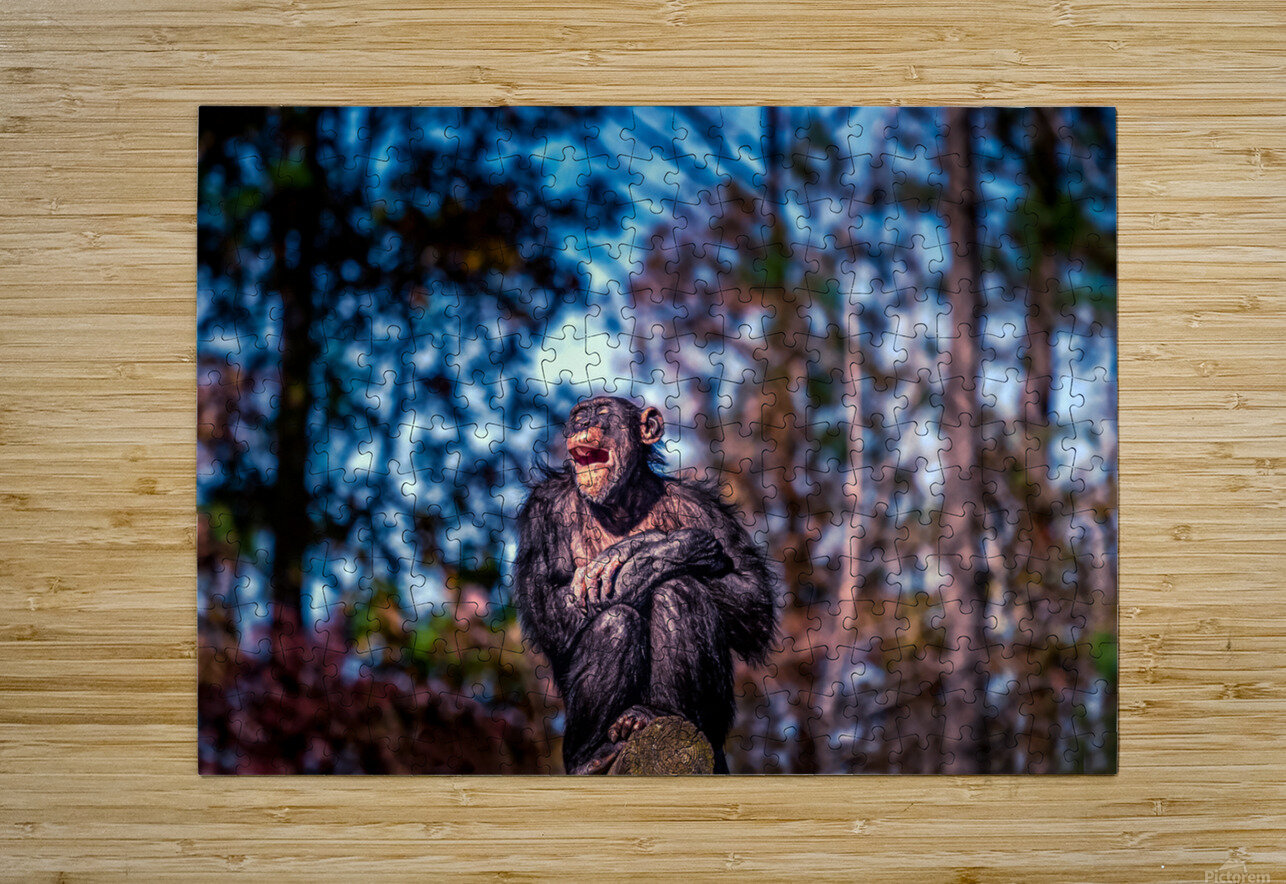 Old Chimpanzee  HD Metal print with Floating Frame on Back