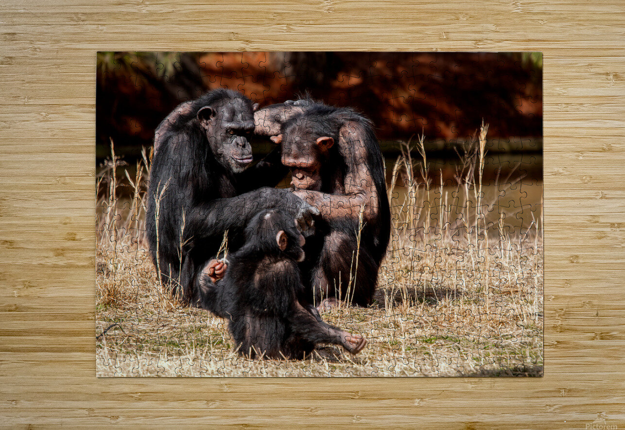 Chimpanzee Family  HD Metal print with Floating Frame on Back