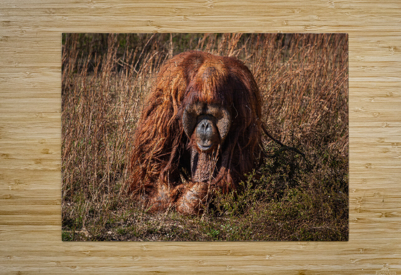 Orangutan  HD Metal print with Floating Frame on Back