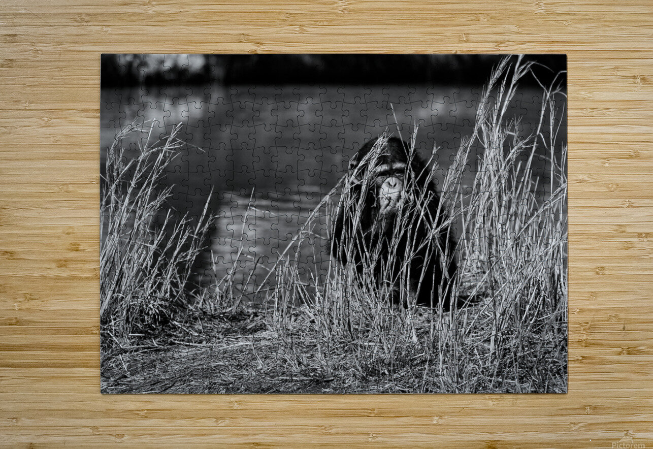 Baby Chimp 1  HD Metal print with Floating Frame on Back