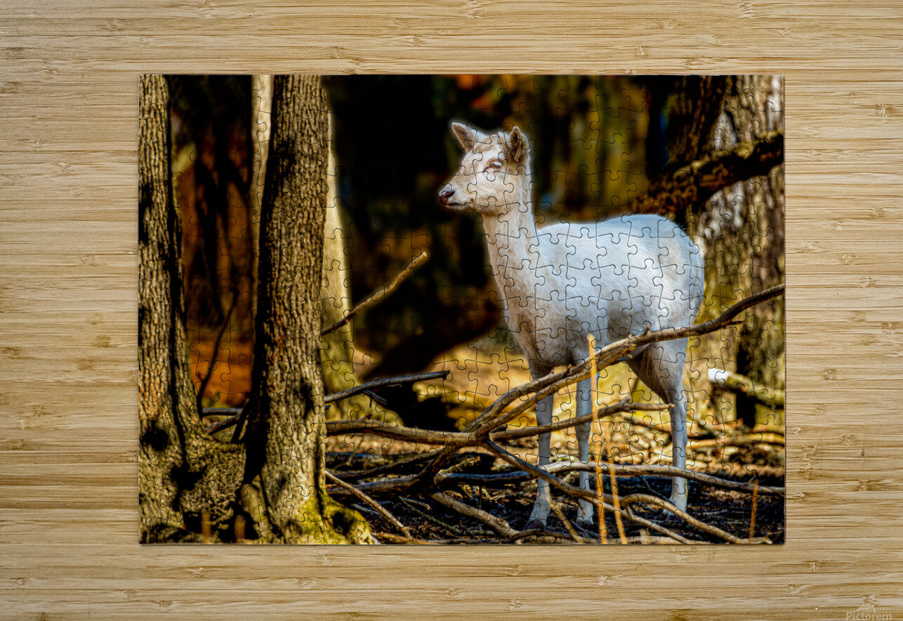 Fallow Deer 3  HD Metal print with Floating Frame on Back