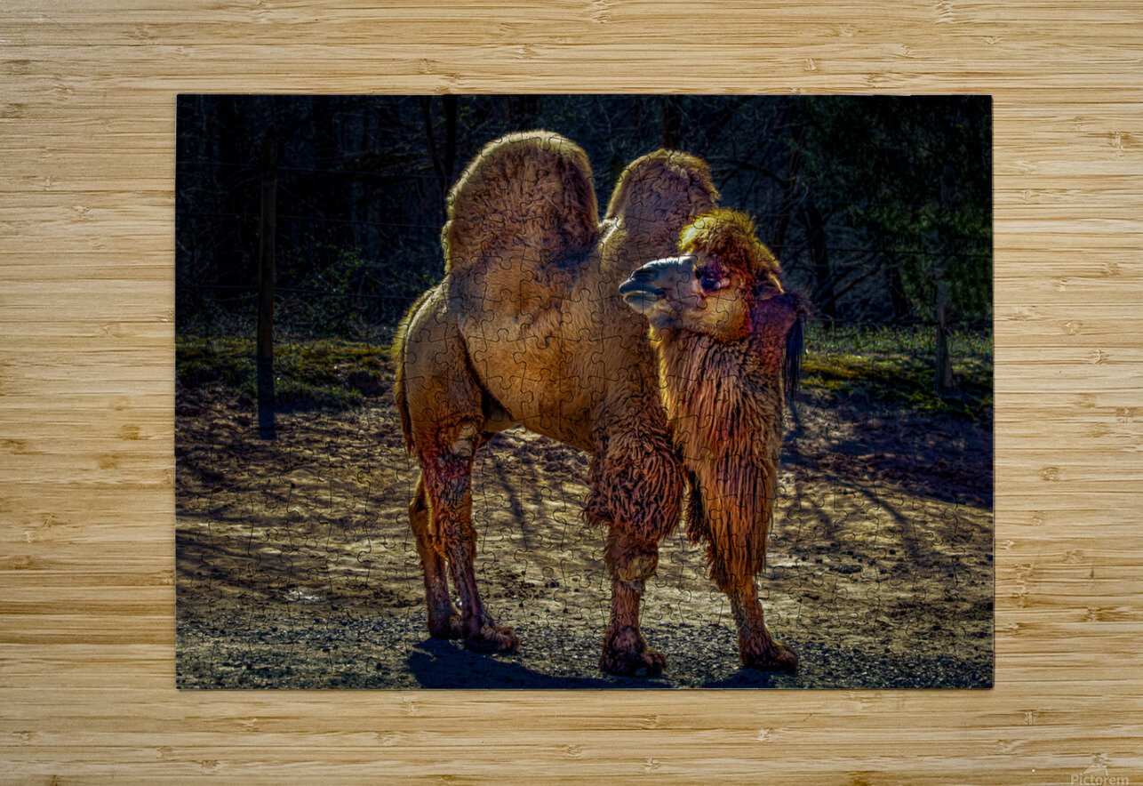 Bactrian Camel  HD Metal print with Floating Frame on Back