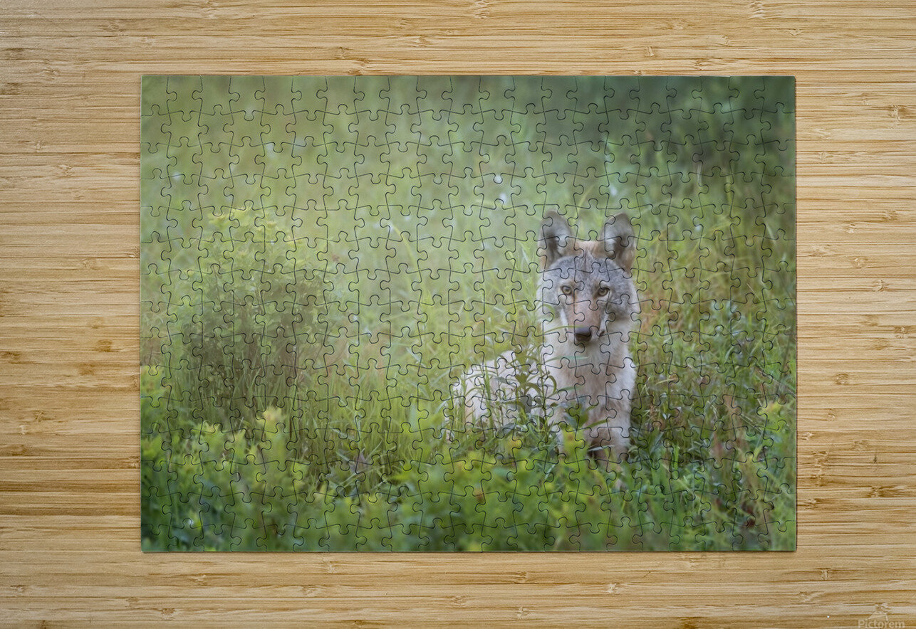 Eastern Coyote  HD Metal print with Floating Frame on Back