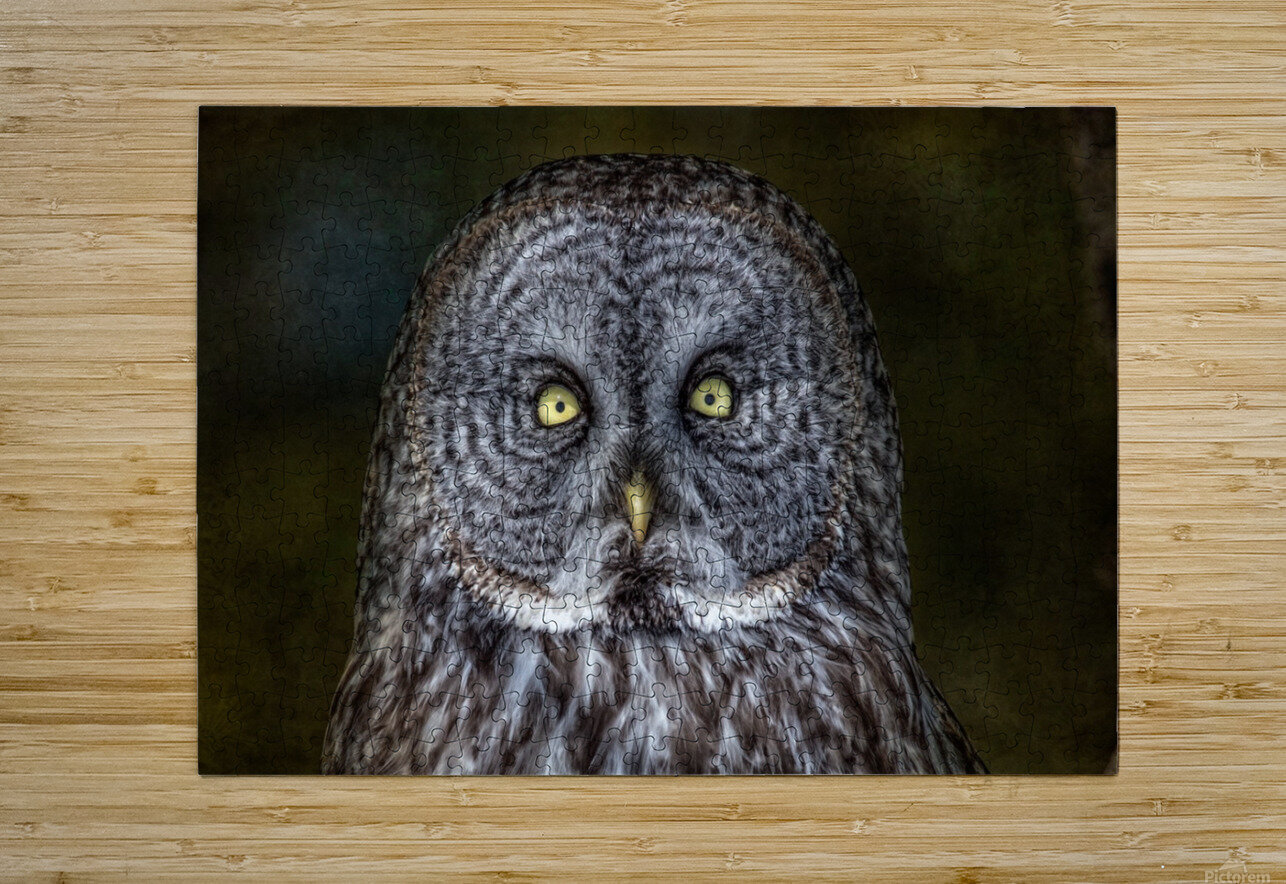 Stare Down with a Great Grey Owl  HD Metal print with Floating Frame on Back