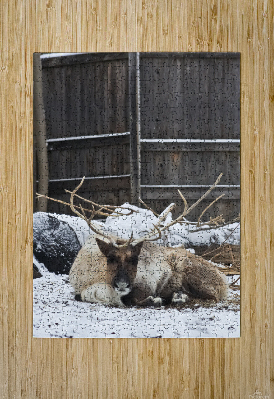 Enjoying the Snow  Caribou    HD Metal print with Floating Frame on Back