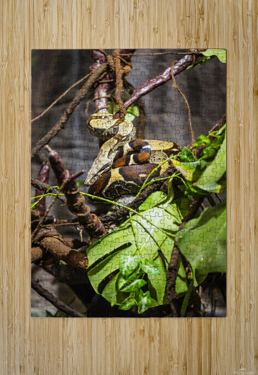 Curled Up  Python   HD Metal print with Floating Frame on Back