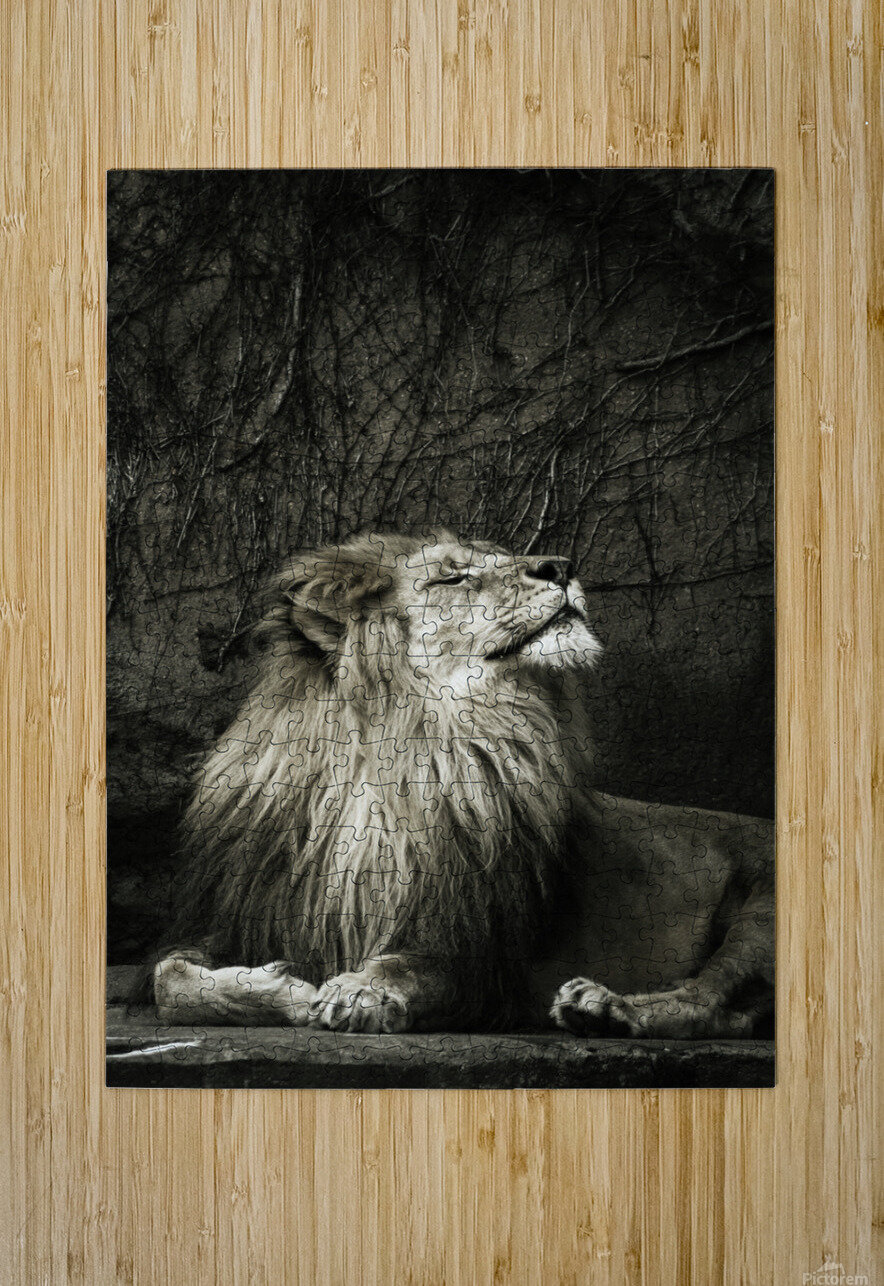 Chill of the Day  Lion   HD Metal print with Floating Frame on Back