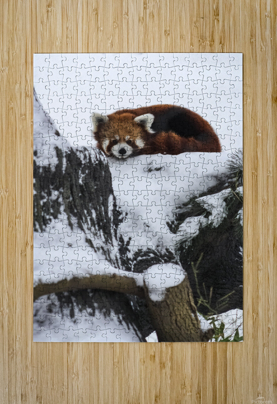 Red Panda  HD Metal print with Floating Frame on Back