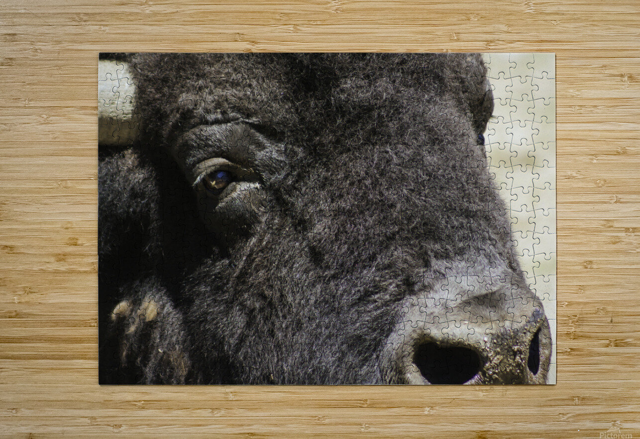 Reflection of a Buffalo  HD Metal print with Floating Frame on Back