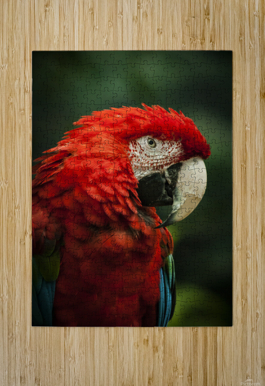 Parrot Portrait  HD Metal print with Floating Frame on Back