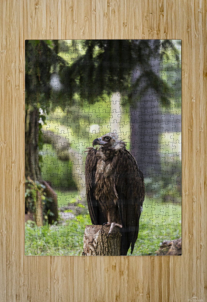 Buzzard  HD Metal print with Floating Frame on Back