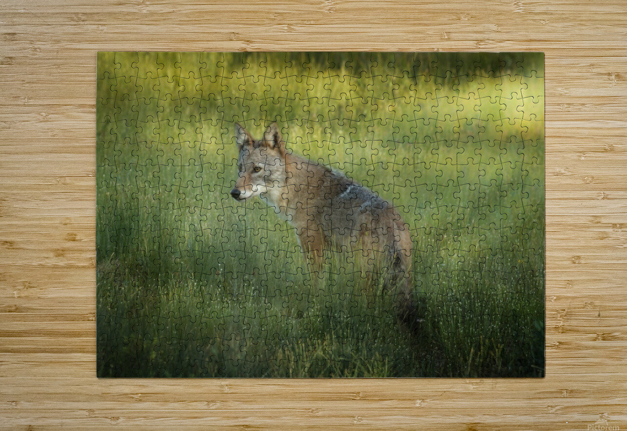 Evening Coyote  HD Metal print with Floating Frame on Back