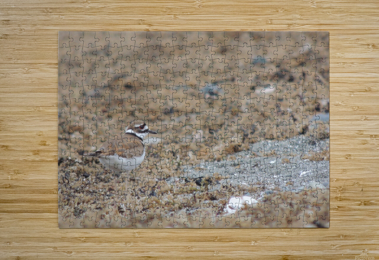 Killdeer Camouflage  HD Metal print with Floating Frame on Back