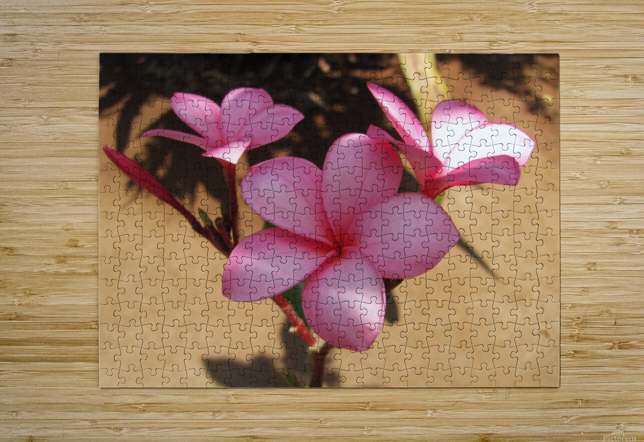 Pink Plumeria  HD Metal print with Floating Frame on Back