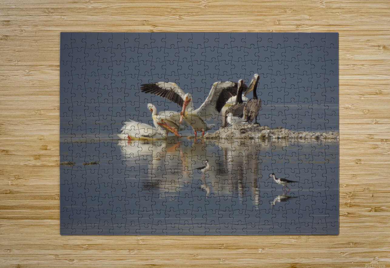 Pelican Reflections  HD Metal print with Floating Frame on Back