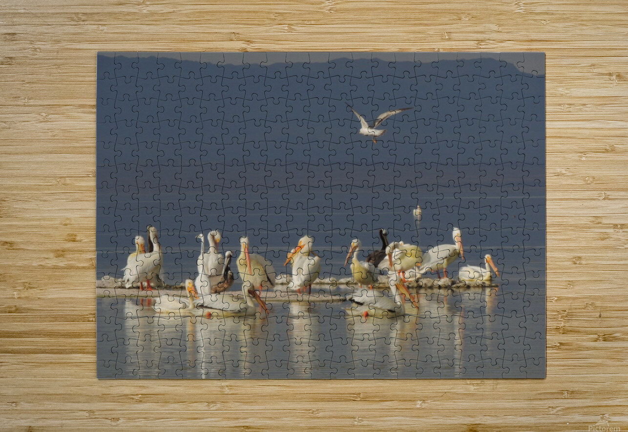 Pelicans of the Salton Sea  HD Metal print with Floating Frame on Back