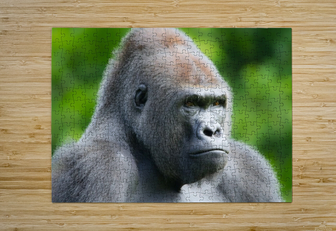 Gorilla  HD Metal print with Floating Frame on Back