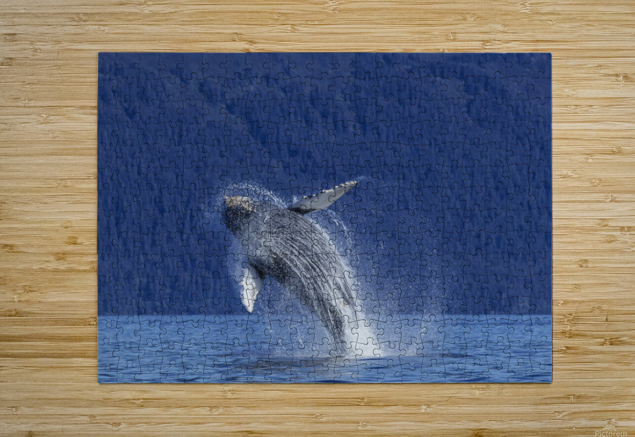 A young Humpback Whale leaps from the calm waters of the Stephens Passage near Tracy Arm, Southeast Alaska, USA.  HD Metal print with Floating Frame on Back