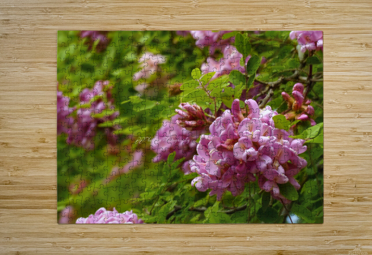 Rose Acacia Blossoms  HD Metal print with Floating Frame on Back