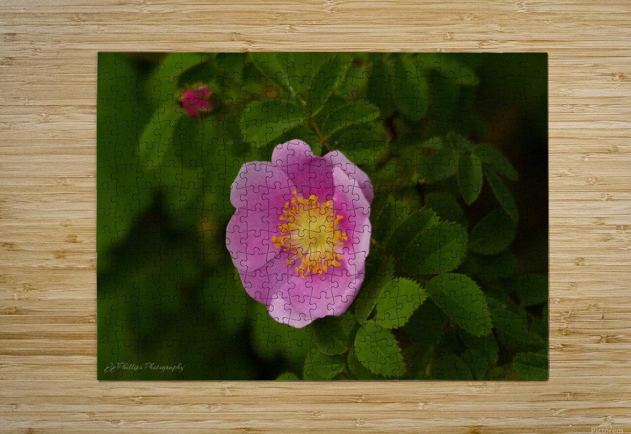 Nootka Rose  HD Metal print with Floating Frame on Back