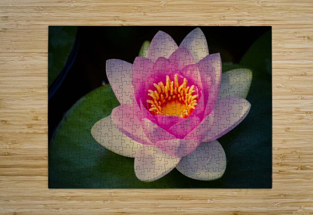 Water lily  HD Metal print with Floating Frame on Back