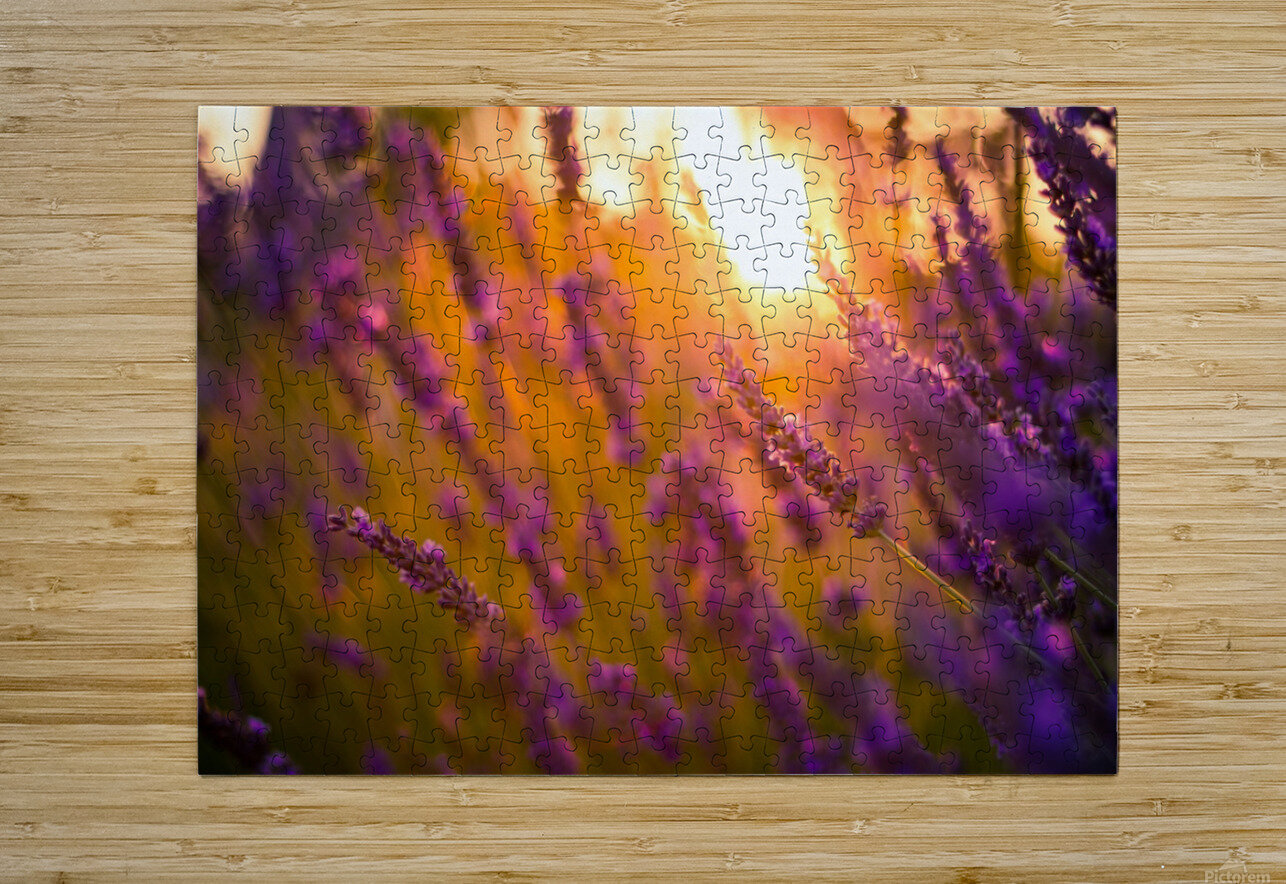 Sunset lavender flowers  HD Metal print with Floating Frame on Back