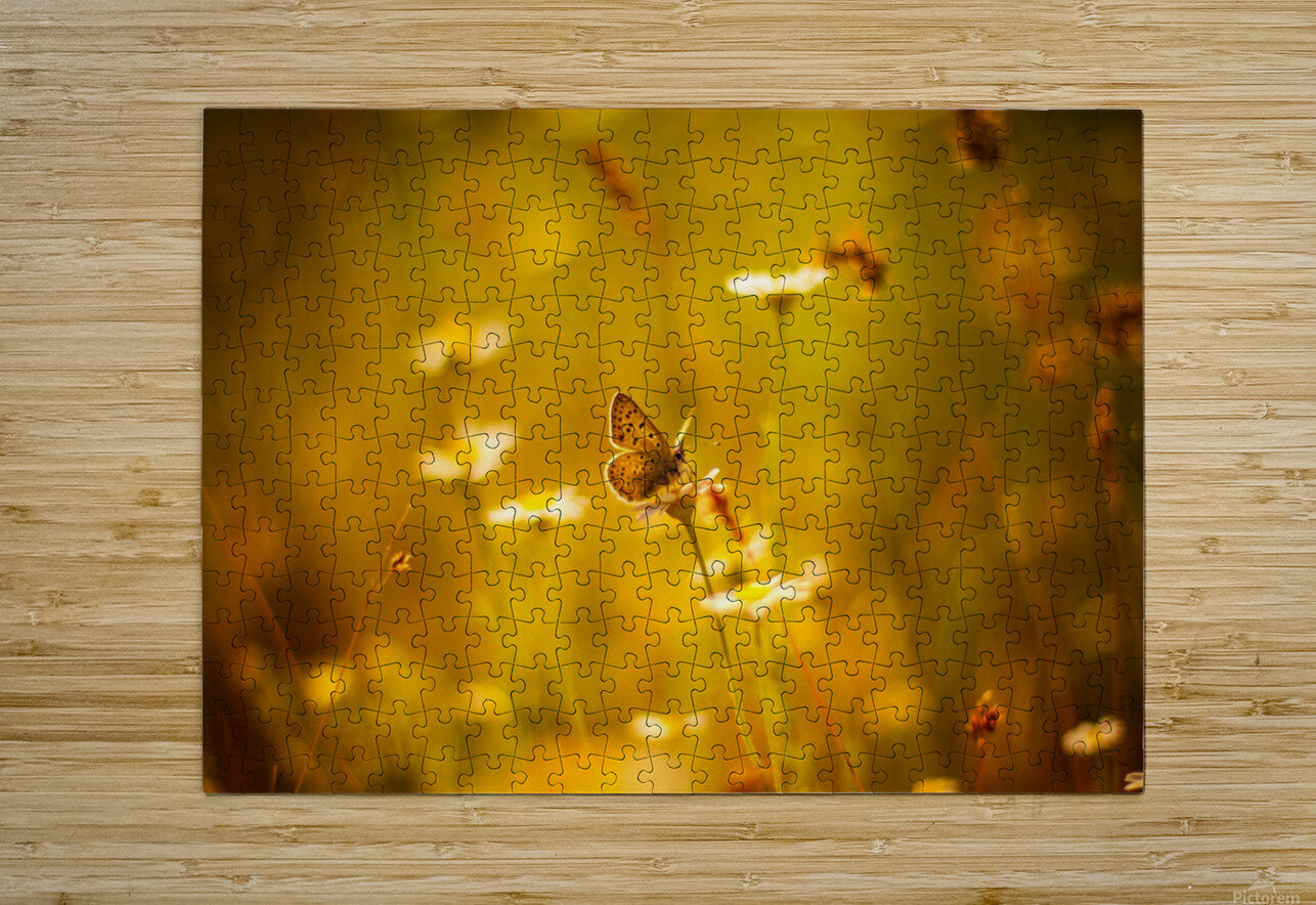 Golden sunset. Daisy and butterfly  HD Metal print with Floating Frame on Back