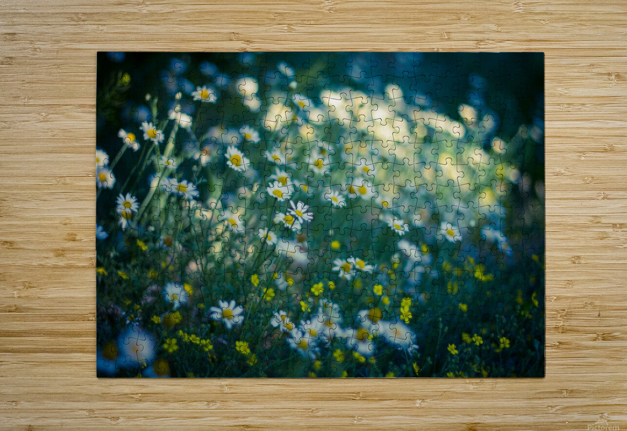 Summer, spring daisy field  HD Metal print with Floating Frame on Back