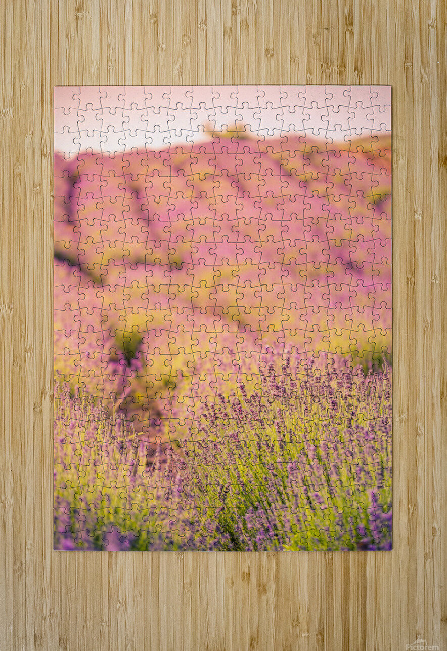 Beautiful Sunset lavender flowers on a field  HD Metal print with Floating Frame on Back