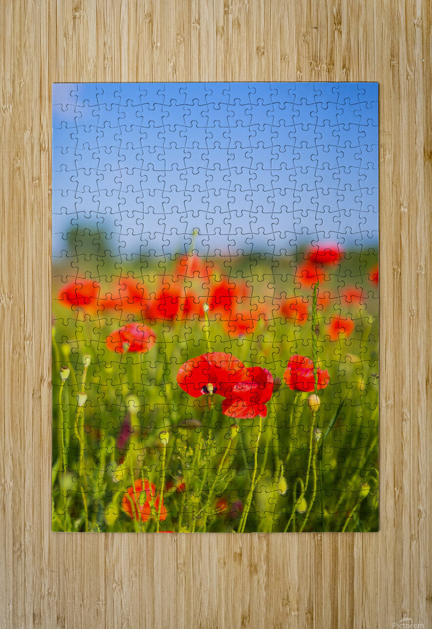 Beautiful Sunset poppy flowers  HD Metal print with Floating Frame on Back