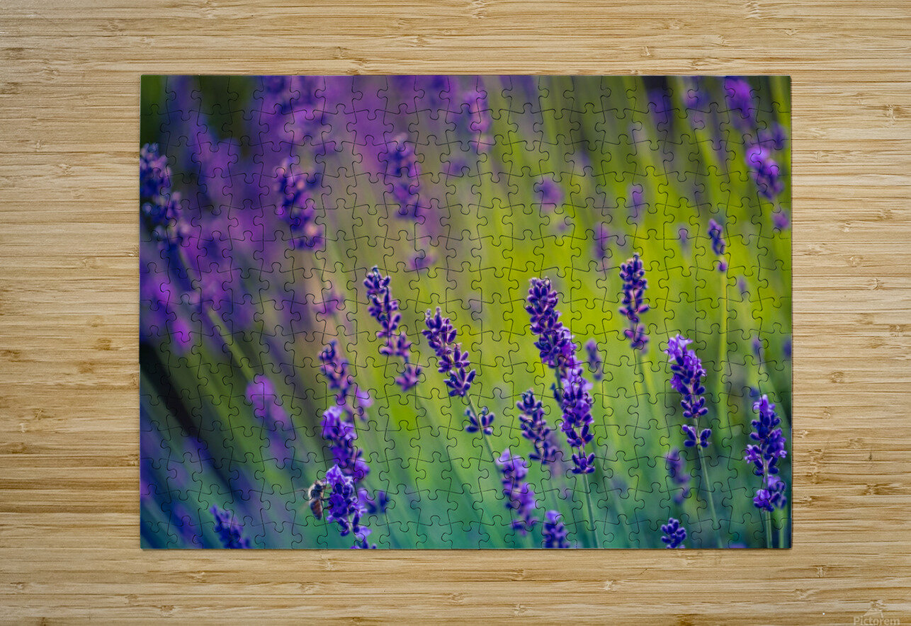 Beautiful Sunset lavender flowers  HD Metal print with Floating Frame on Back
