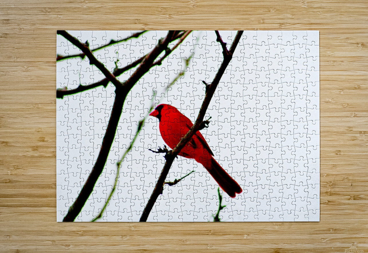 Cardinal Male  HD Metal print with Floating Frame on Back