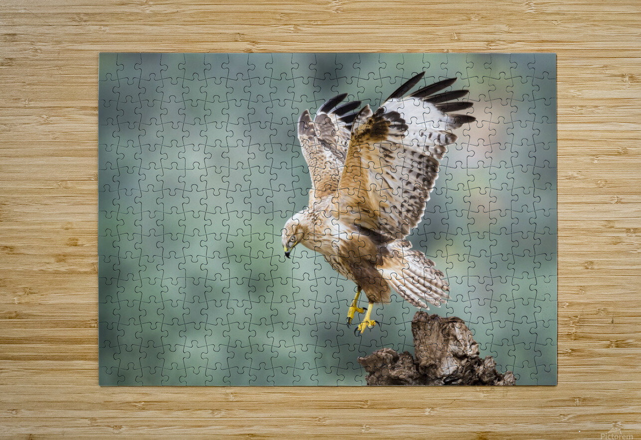 Buteo rufinus  HD Metal print with Floating Frame on Back