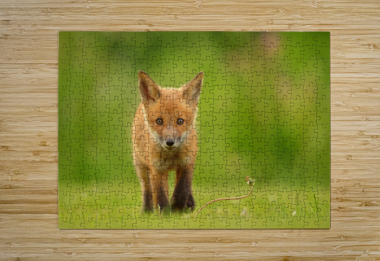 Baby Red Fox  HD Metal print with Floating Frame on Back