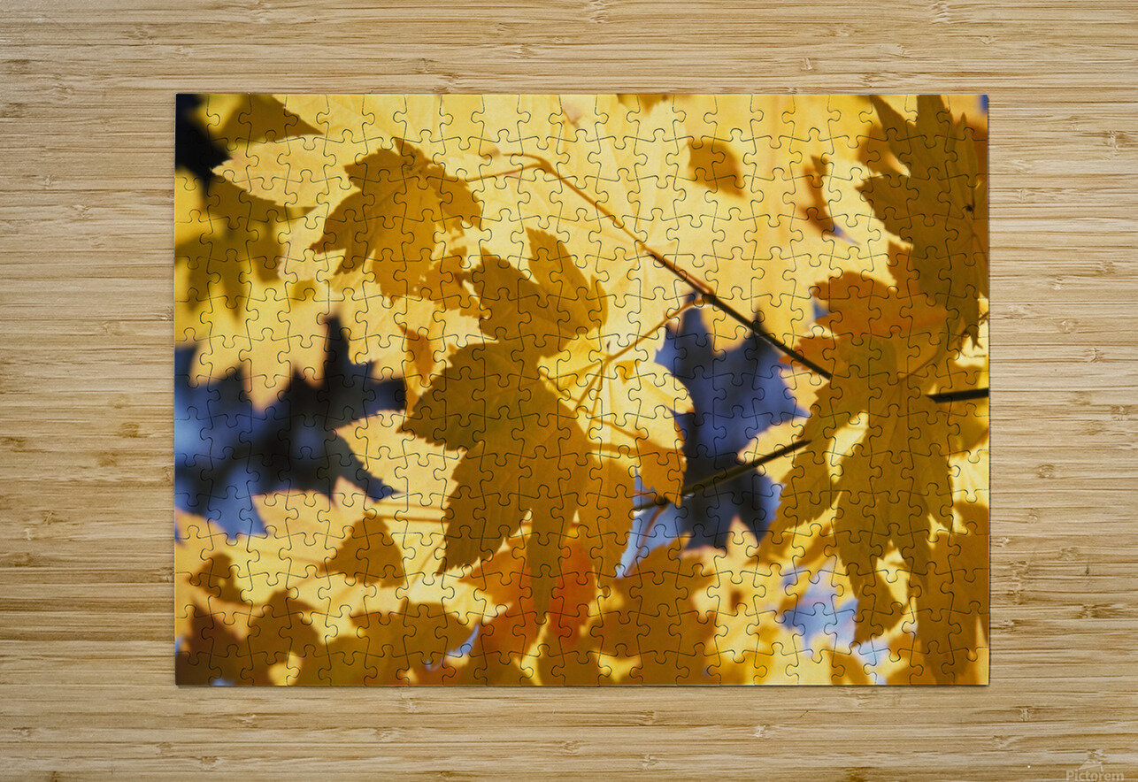 Vine Maples Leaves In Autumn  HD Metal print with Floating Frame on Back