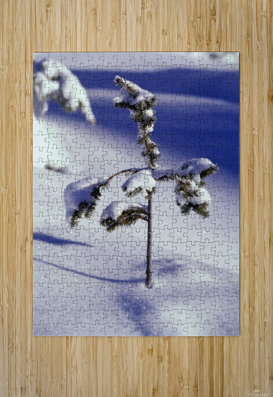 Heavy Snow On Young Pine Tree  HD Metal print with Floating Frame on Back