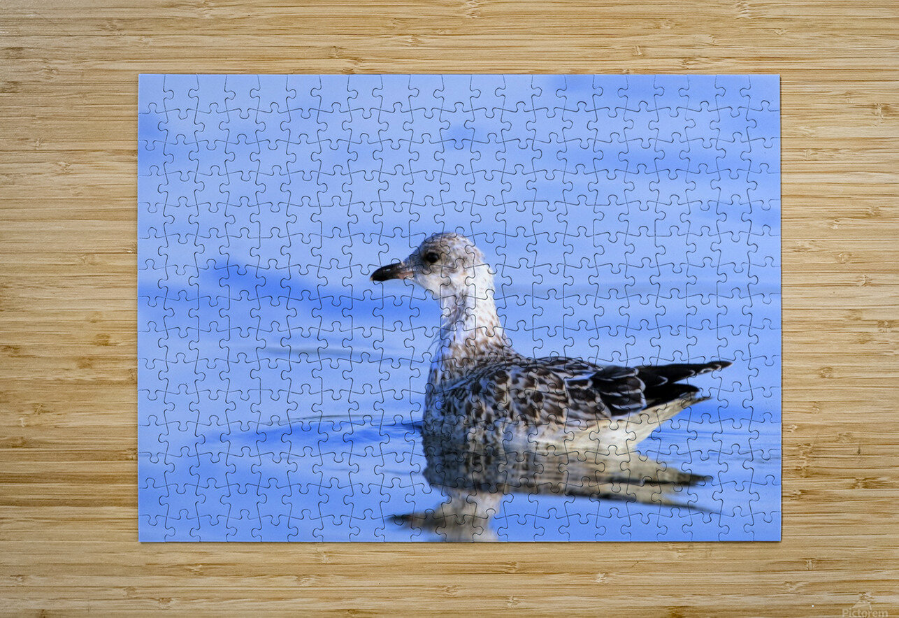 Young Gull Swimming  HD Metal print with Floating Frame on Back