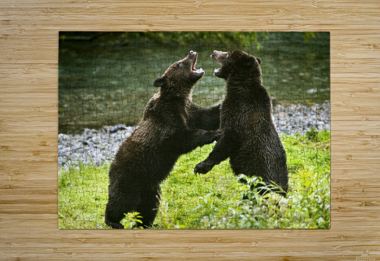 Two Grizzly Bears Fighting  HD Metal print with Floating Frame on Back
