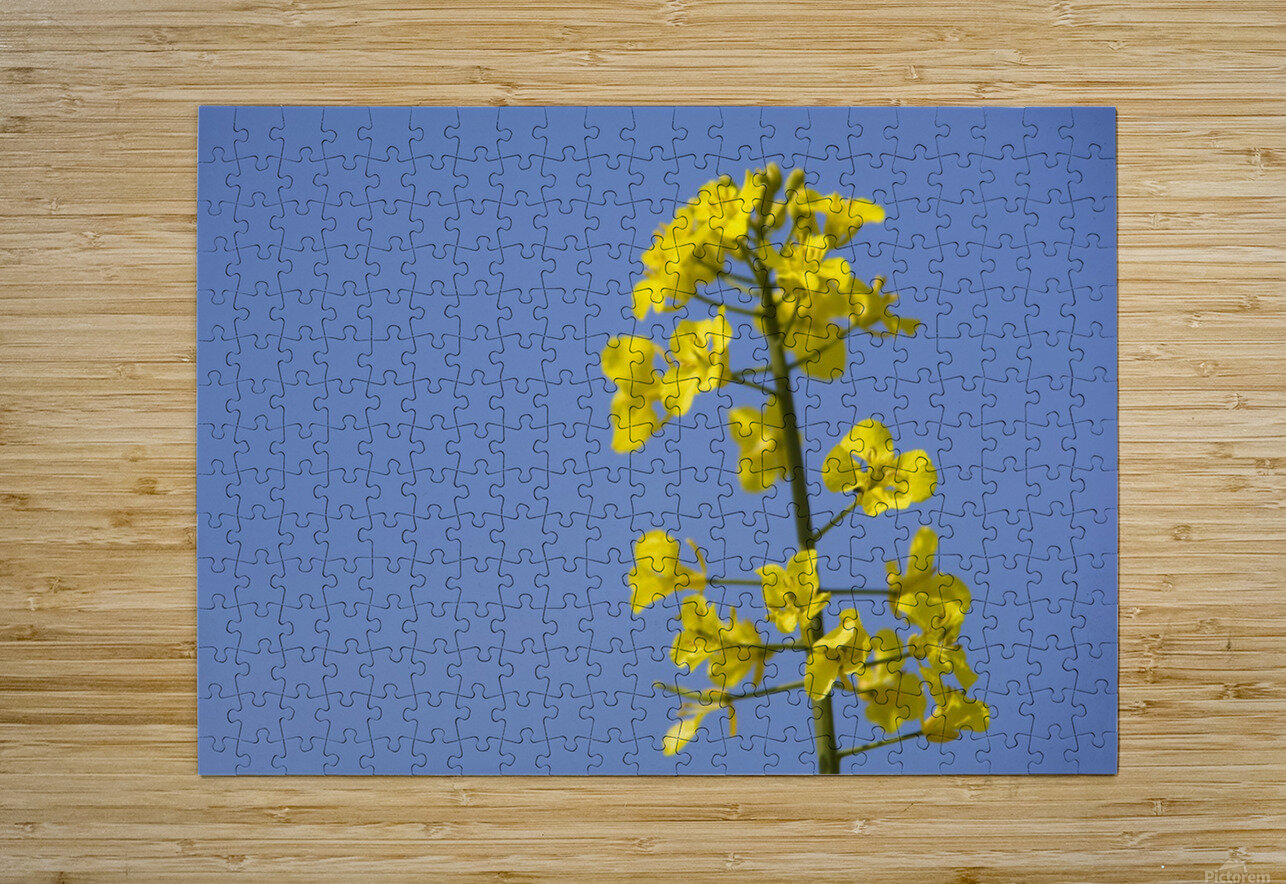 Yellow Flowers  HD Metal print with Floating Frame on Back