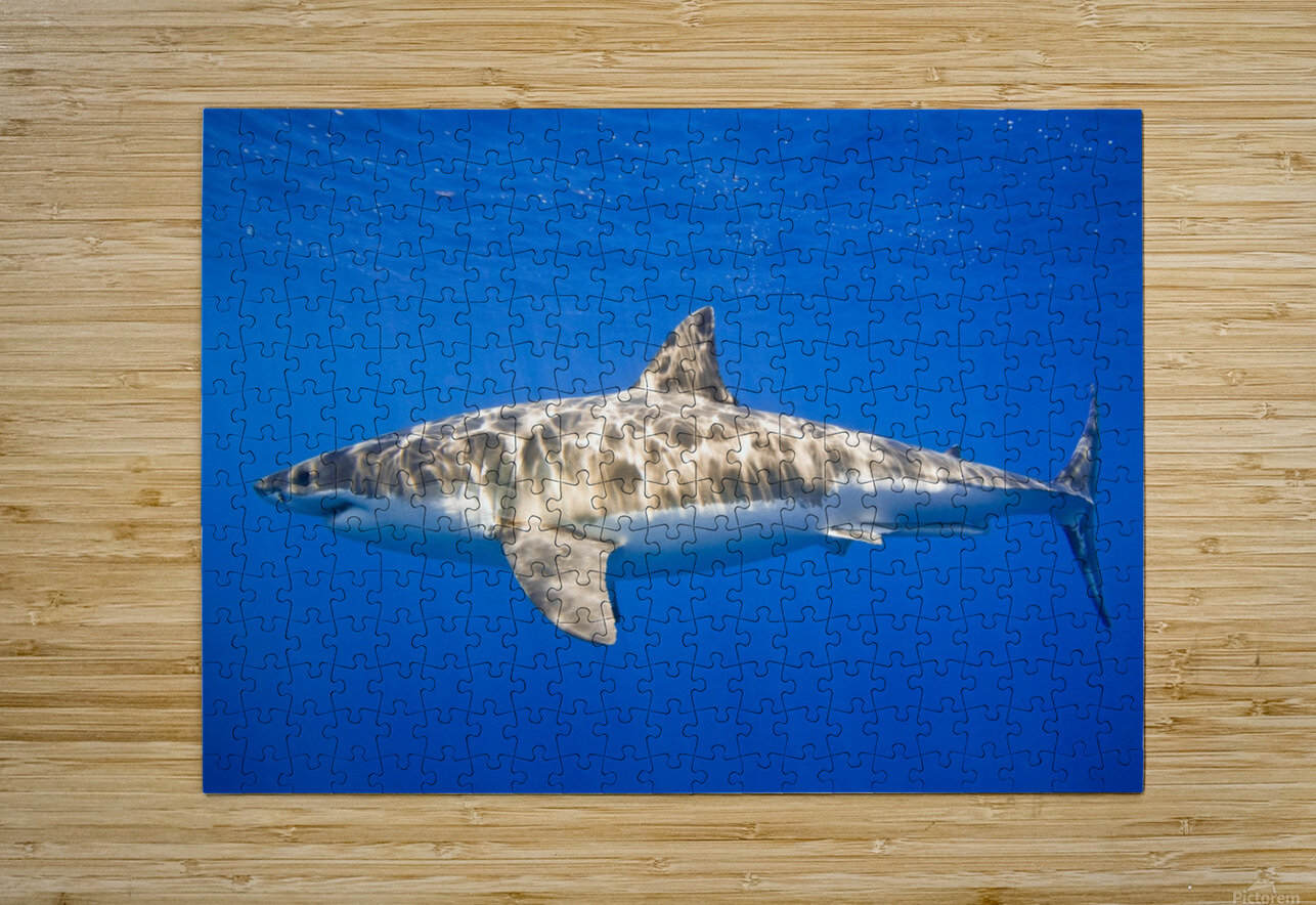 Great White Shark (Carcharodon Carcharias)  HD Metal print with Floating Frame on Back