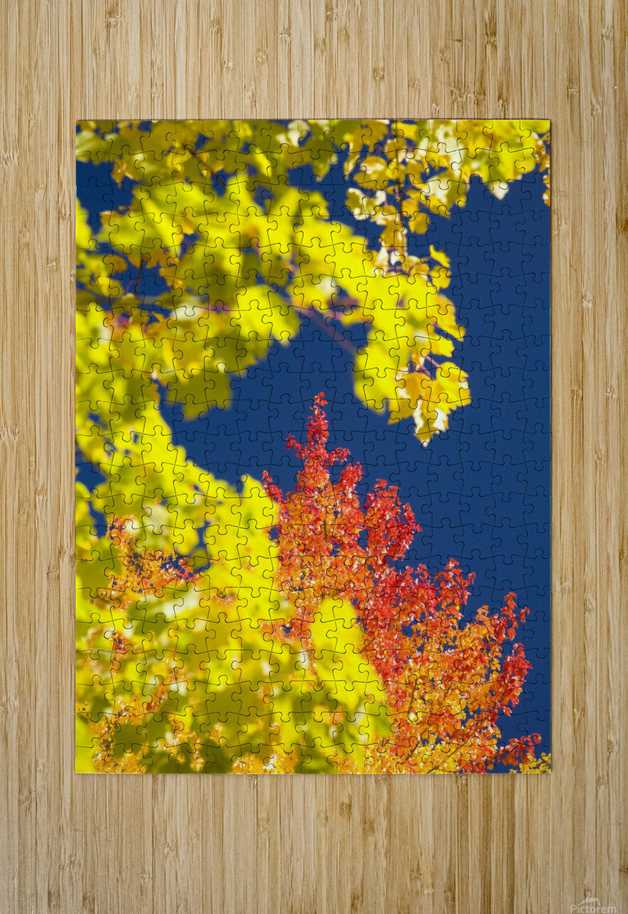 Autumn Trees  HD Metal print with Floating Frame on Back