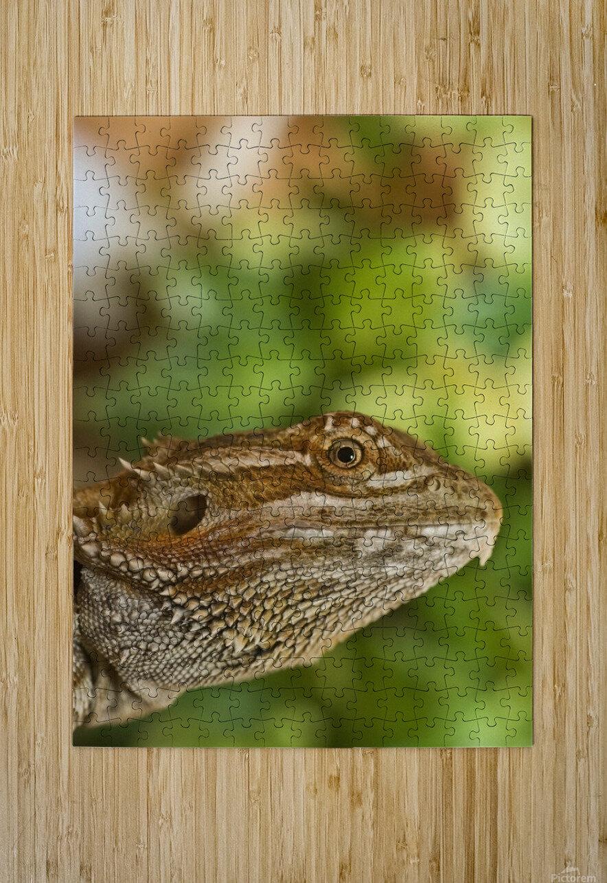 Bearded Dragon Lizard  HD Metal print with Floating Frame on Back