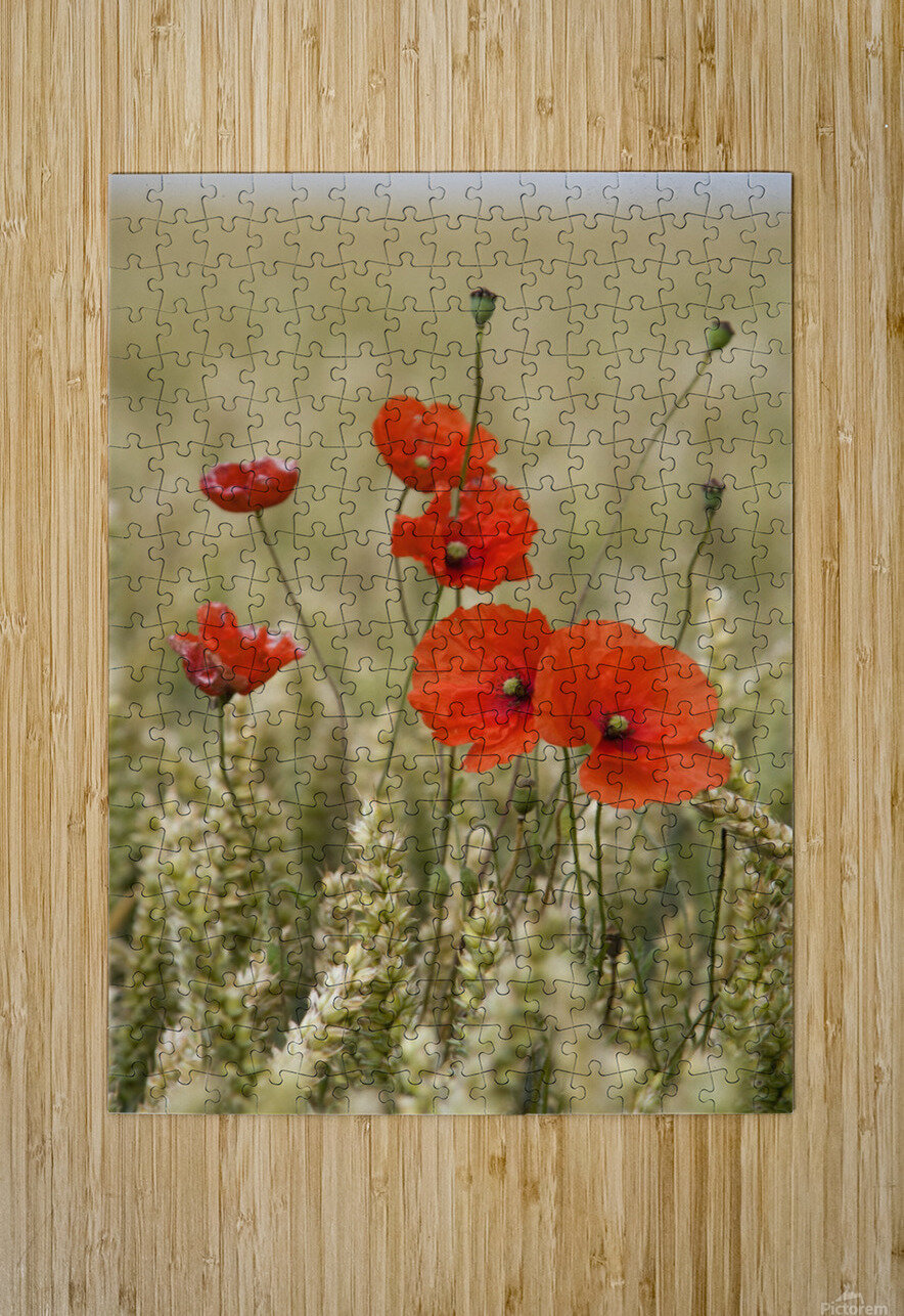 Wildflowers; Poppies In A Grain Field  HD Metal print with Floating Frame on Back