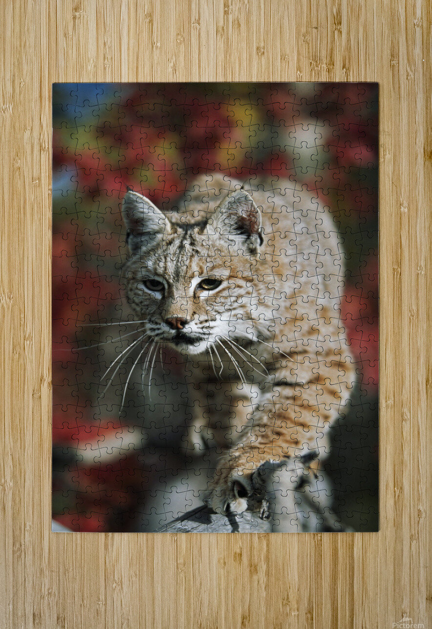 Bobcat (Felis Rufus) Walks Along Branch Through Red Leaves Of A Hawthorn In Autumn; Idaho, Usa  HD Metal print with Floating Frame on Back